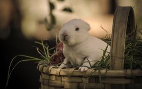 Picture grass, basket, rabbit