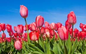 Picture flowers, spring, the sky, buds, tulips, tulips