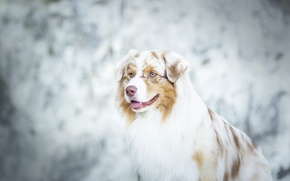Picture bokeh, Australian shepherd, Aussie, dog