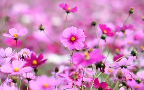 Wallpaper field, grass, flowers, nature, glade, bright, plants, spring, petals, pink, flowering, kosmeya