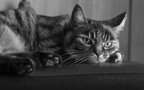 Picture cat, cat, black and white, lies