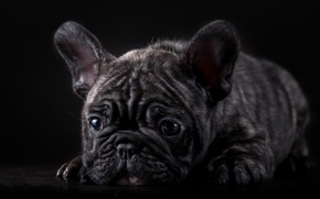 Picture muzzle, puppy, French bulldog, marble