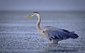 Picture eyes, lake, fishing, beak, neck, grey Heron