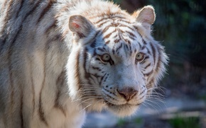 Picture cat, white, face, tiger