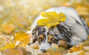 Picture autumn, face, foliage, leaf, dog, lies, look., shepherd, Australian, Aussie