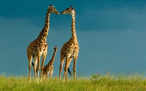 Picture the sky, giraffes, wildlife
