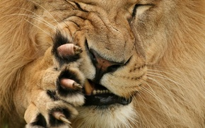 Picture face, paw, Leo, wool, mouth, claws, grimace, Fang