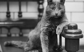 Picture cat, pose, black and white, Russian blue
