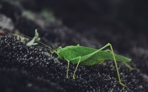 Picture Nature, Grasshopper, Green