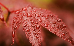 Picture autumn, drops, red, sheet, Rosa