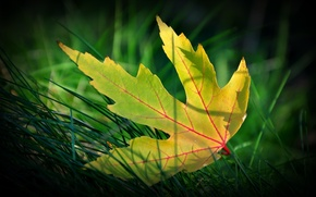 Picture autumn, grass, macro, yellow leaf