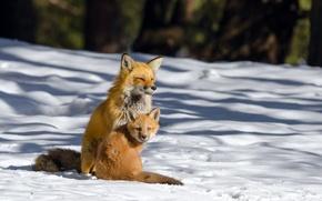 Picture winter, snow, Fox, Fox, Fox
