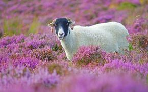 Wallpaper field, flowers, lamb