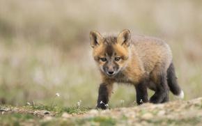 Picture look, Fox, cub, bokeh, Fox