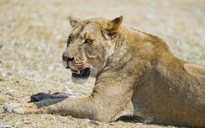 Picture cat, stay, lioness, ©Tambako The Jaguar