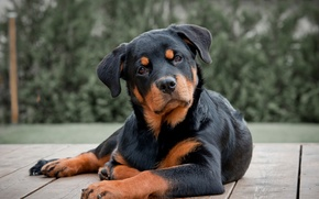 Picture Dog, Rottweiler, Rottweiler