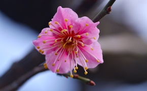 Picture flower, macro, branch, Pink