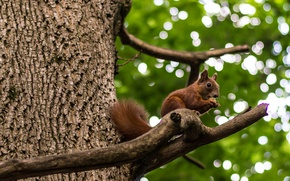 Picture forest, animals, nature, protein, squirrel, bokeh