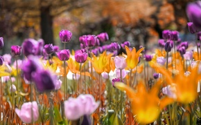 Picture flowers, Park, tulips, meadow