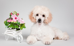 Picture flowers, puppy, poodle
