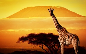 Picture trees, sunset, giraffe, Africa