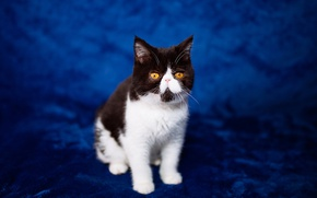 Picture cat, blue, kitty, background, pers, muzzle, sitting, extreme, yellow eyes