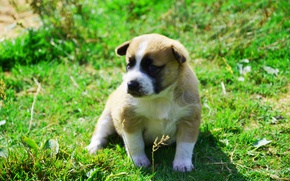 Picture dog, puppy, Animals, on the grass