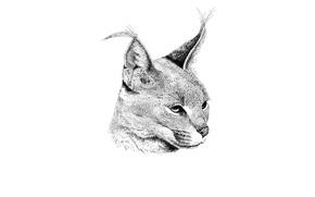 Picture predator, Caracal, steppe lynx, Caracal