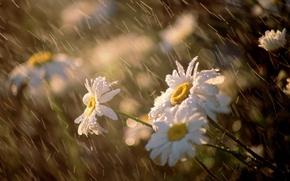 Wallpaper flowers, macro, the wind, chamomile, Rain