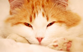 Picture cat, fluffy, red