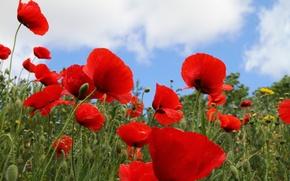 Picture field, the sky, grass, Maki, petals, meadow