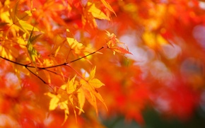 Picture Sunny, crown, leaves, tree, yellow, maple, the sun, autumn