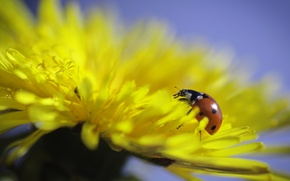Picture flower, macro, dandelion, ladybug, flower, macro, ladybug, dandelion