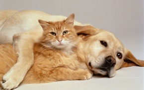 Picture animals, dog, Cat, wool, ears, red, Pets