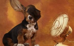 Wallpaper ears, Bassett, basset hound, fan