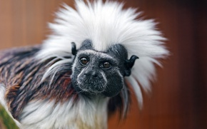 Picture look, monkey, painting, the primacy of, Oedipus Tamarin