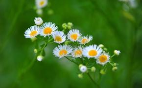 Picture field, petals, Daisy, meadow