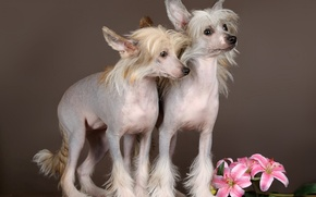 Picture dogs, flowers, background, puppies, Chinese crested dog
