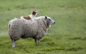 Picture dog, meadow, sheep