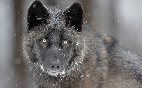 Picture eyes, look, face, snow, grey, predator, Wolf