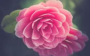 Wallpaper macro, Camellia, petals, buds
