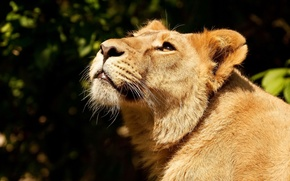Picture face, predator, Leo, lioness, looking up