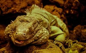 Picture relax, calm, iguana, reptile