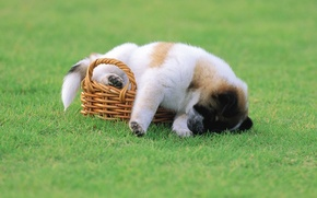 Picture basket, grass, puppy