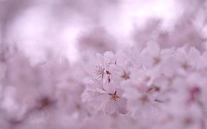 Picture macro, flowers, pink, branch, color, spring, petals, blur, Sakura, flowering