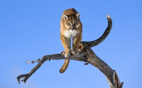Picture look, background, tree, Wallpaper, wild cat, Puma, mountain lion, Jaguar