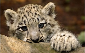 Picture look, paw, IRBIS, snow leopard, kitty