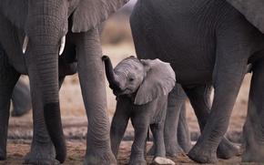 Wallpaper elephants, animals, elephants, mom, baby, nature, animals