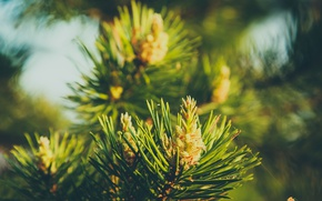 Picture needles, greens, tree, pine, bumps, spruce, bumps, macro