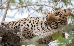 Picture cat, eyes, look, tree, large, leopard